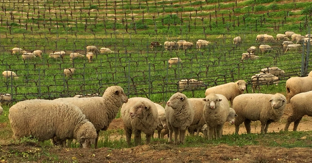 Sheep are an environmentally sound way to fertilze the vineyard.