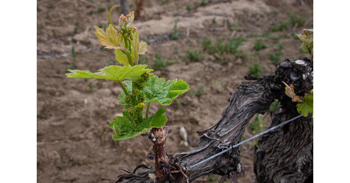 New Growth Vineyard - Carter Estate Winery -by Kathleen Messmer