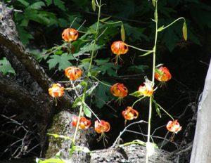 sequoiasspringflowers400x309.jpg