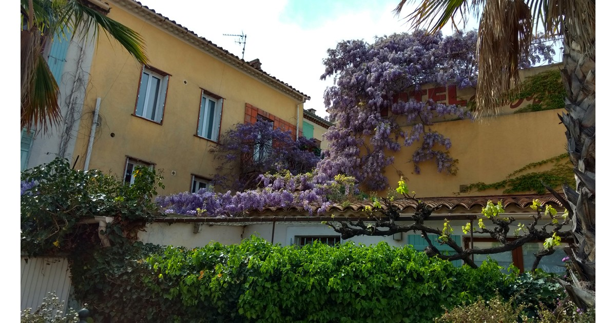 Wisteria and Vines at Sanary-sur-Mer