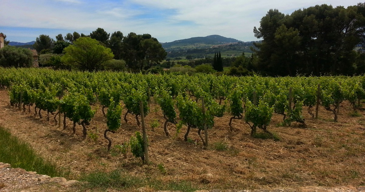 The Biodynamic vineyards of Domaine de la Tour du Bon in Bandol  are intermingled with the local vegitation.