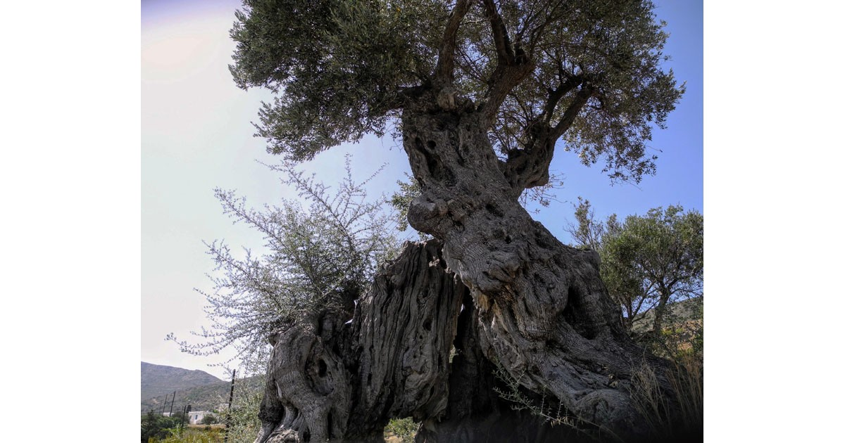Over 1K year old olive tree - still bearing fruit -, Paros Island