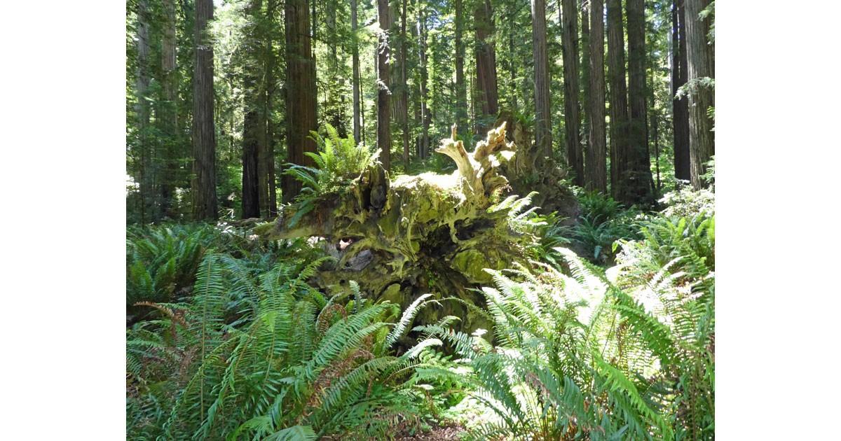 Ferns at Stout Grove: Photo Linda Ballou