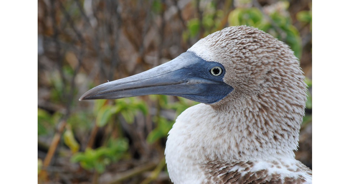 Galapagos Booby Bird CU ©Debbra Dunning Brouillette