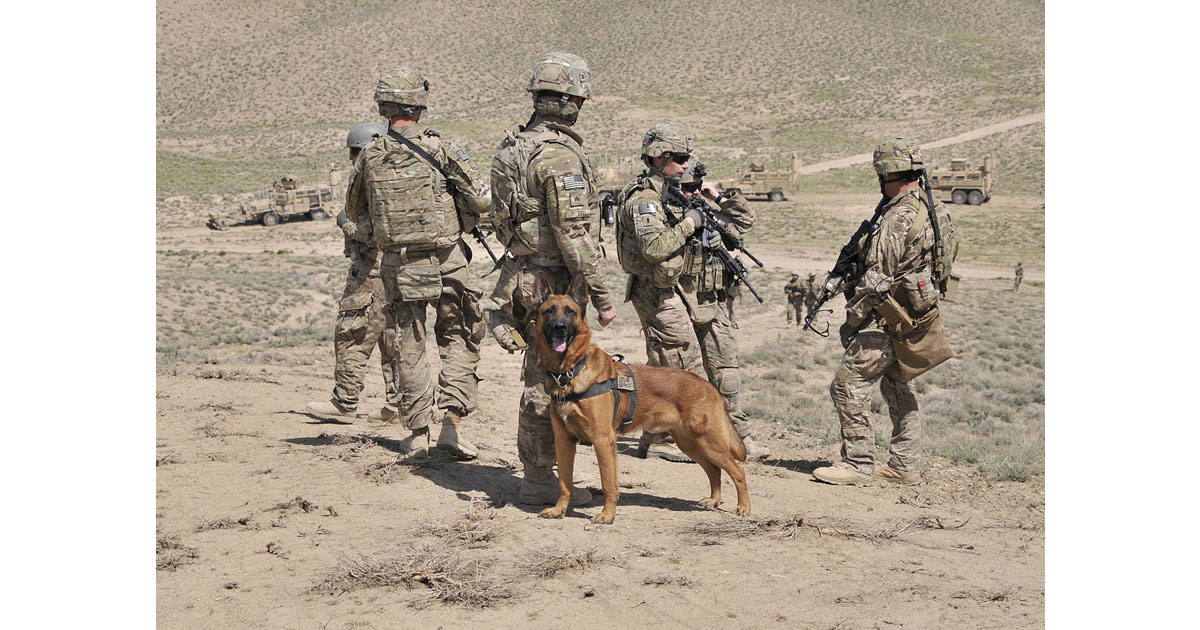 Military working Belgian Malinois dog in Afganistan