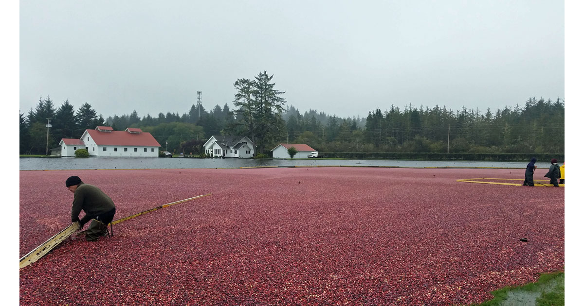 Cranberry Bogs, Long Beach, Washington