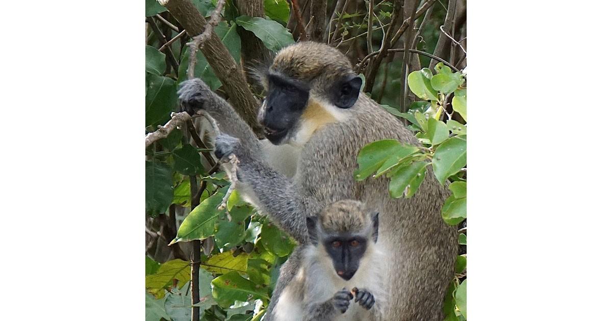 Nevis Monkeys ©Debbra Dunning Brouillette