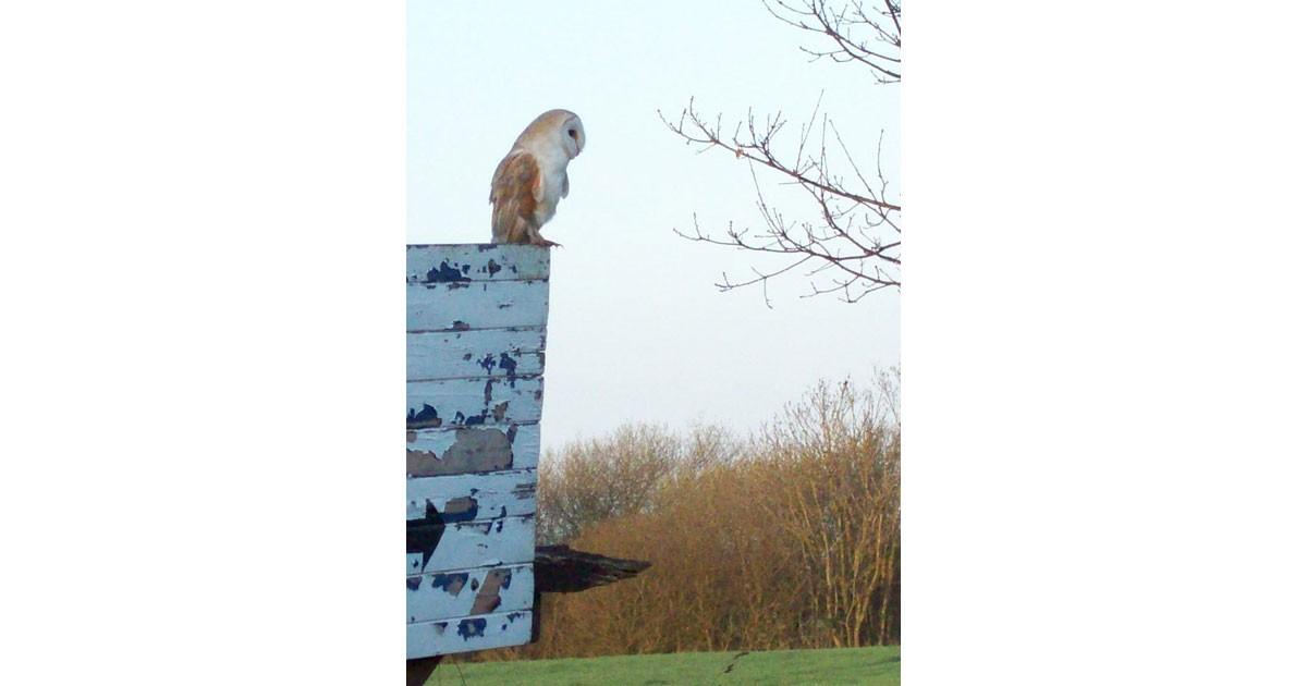 Owl in Norfolk
