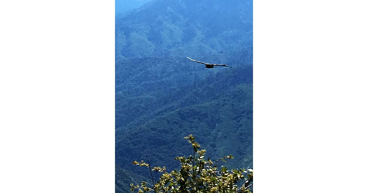 California Condor in Sequoia National Park