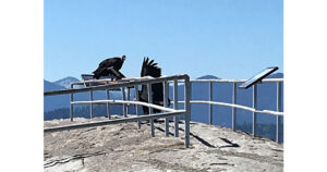 california condors at moro rock in sequoias
