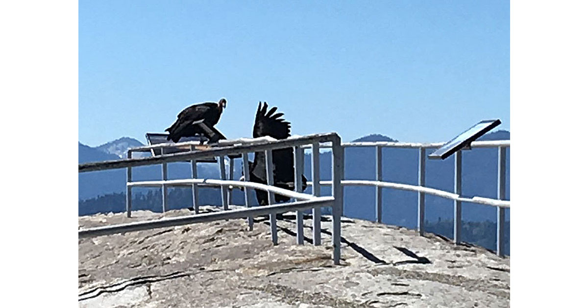 California Condors at Moro Rock in Sequoia National Park